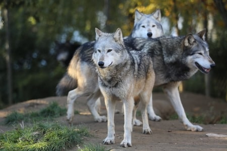 grey wolves wanting to escape
