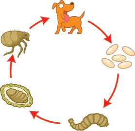 cycle of dog fleas